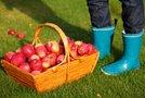 Obrana jabolka v košari