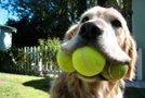 Pes, žogice