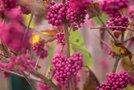 Okrasni plodovi pozimi - 3