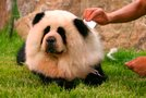 Chow chow panda