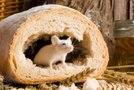 Miš v stanovanju
