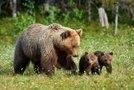 Medvedka z mladičema