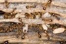 Mravlje
