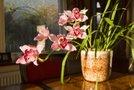 Orhideja v lončku
