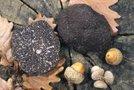 Črni tartuf