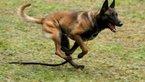 Vojaški psi
