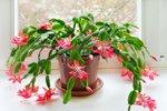 Božični kaktus
