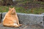 Debela mačka