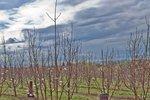 Mlada drevesa češnje