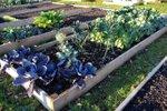 Zimska zelenjava na vrtu