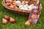 Jesensko sajenje čebulnic - narcise in tulipani