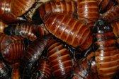 Madagaskarski ščurki