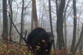 Medved - 1