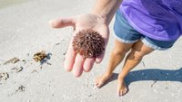 Morski ježek