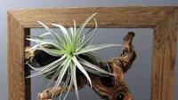 Zračne rastline, tilancije