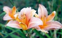 Oranžna lilija