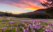 Žafrani cvetijo