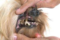 Pasji zobje