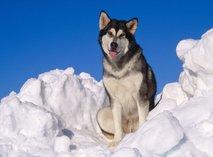 Najmočnejše in inteligentne pasme psov - 3