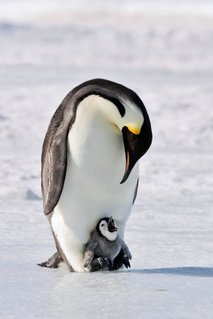 Pingvin - 2