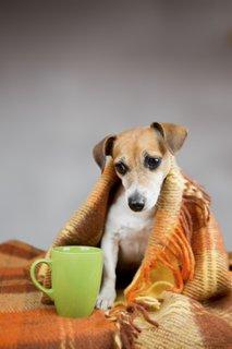 Prehlajen pes