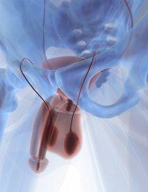 Moški spolni organi