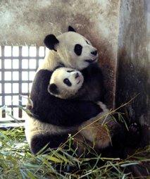 Panda z mladičkom