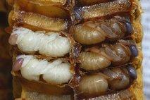 Čebele imajo čustva - 3
