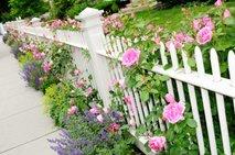 Roza vrtnice za belo ograjo