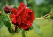 Cvetje v dežju - 11