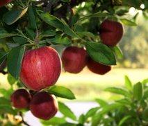 Jabolko na drevesu