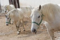 Kobilarna Lipica-7