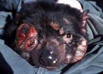 Oboleli tasmanski vrag