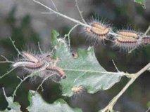 Gosenica hrastovega sprevodnega prelca