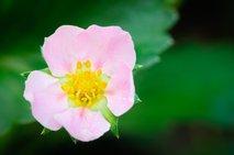 Rožnat cvet jagode