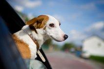 Pes v avtu