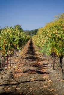 Vinograd, jeseni