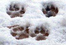 Šape na snegu