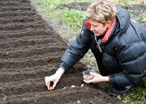 Vrtnarka sadi čebulnice