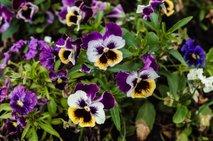 jesenske zasaditve rož na grobovih - 17