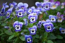 jesenske zasaditve rož na grobovih - 12