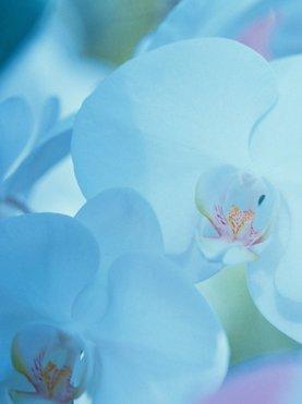 rožica, cvetlica