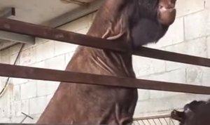 Damaščanska koza
