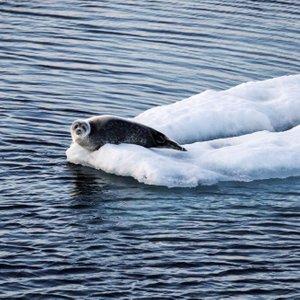 Tjulenj na ledeni ploskvi