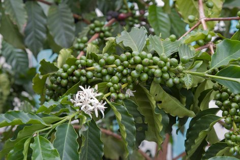kava Arabica