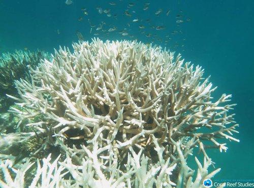 Beljenje koral - 2