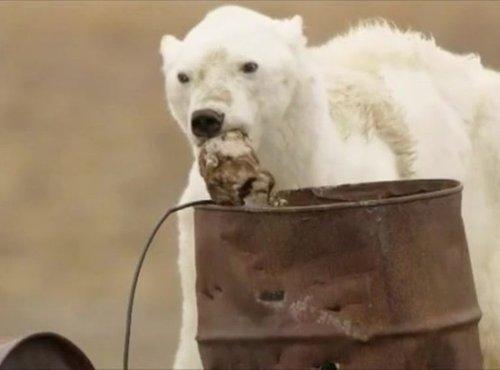 Sestradani severni medved