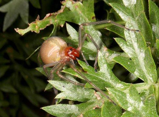 Pajek Cheiracanthium punctorium