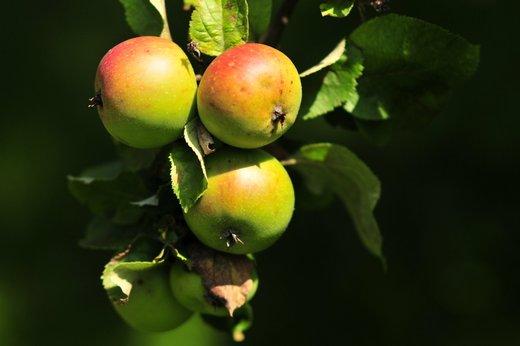 Jabolka 1010