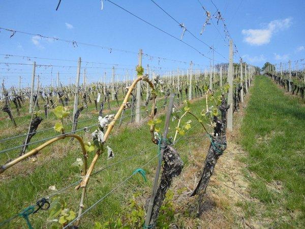 pozeba v vinogradu